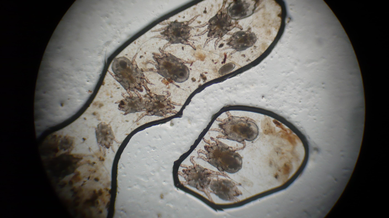 paraziták v usich kocek